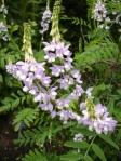 The biguanide class of antidiabetic drugs, originates from the French lilac or goat's rue (Galega officinalis), a plant used in folk medicine for several centuries.  (Wikipedia)