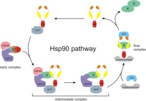 Hsp90cycle